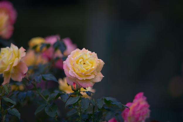 花菜ガーデン【秋バラ:トロピカル・シャーベット】3