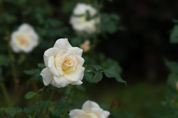 花菜ガーデン【秋バラ:フレンチ・レース】1
