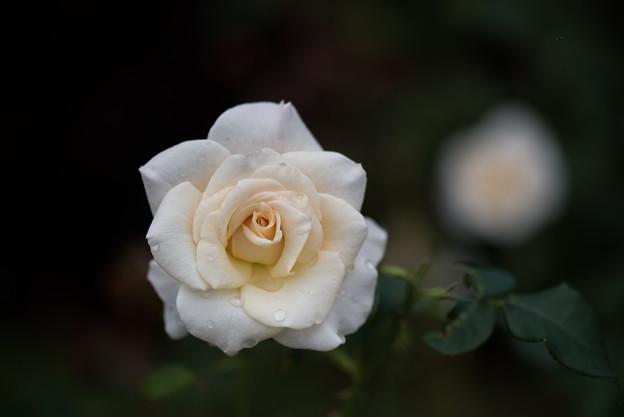 花菜ガーデン【秋バラ:フレンチ・レース】3