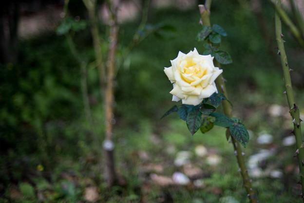 花菜ガーデン【秋バラ:ピース】1