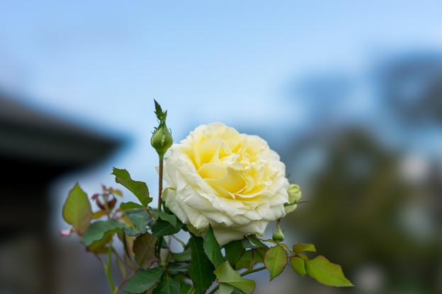花菜ガーデン【秋バラ:快挙】1
