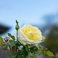 Photos: 花菜ガーデン【秋バラ:快挙】1