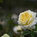 花菜ガーデン【秋バラ:快挙】2