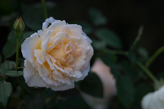 花菜ガーデン【秋バラ:薫乃】2