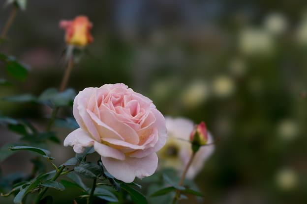 花菜ガーデン【秋バラ:エル】2