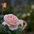 Photos: 花菜ガーデン【秋バラ:エル】2