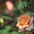 花菜ガーデン【秋バラ:夢想】