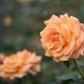 YEG【秋バラ:ゴールデン・オールディ】2