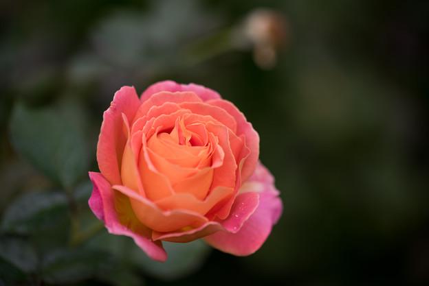 YEG【秋バラ:アルパイン・サンセット】4