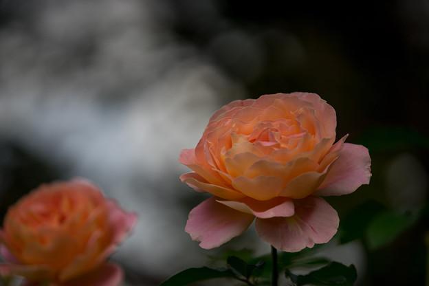 YEG【秋バラ:アルパイン・サンセット】5