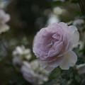 YEG【秋バラ:ニュー・ウェーブ】3
