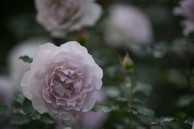 Photos: YEG【秋バラ:ニュー・ウェーブ】4