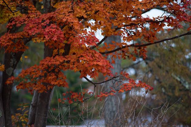 山中湖【渋い紅葉】4