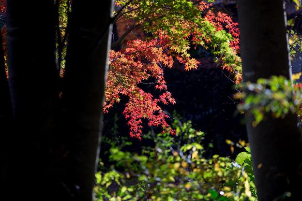 河口湖【もみじ回廊の紅葉】3