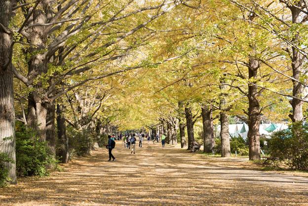 昭和記念公園【イチョウ並木】1