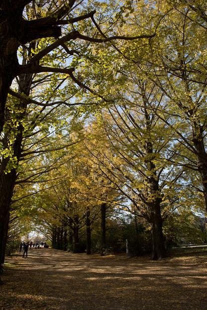 昭和記念公園【イチョウ並木】3
