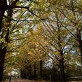 Photos: 昭和記念公園【イチョウ並木】3