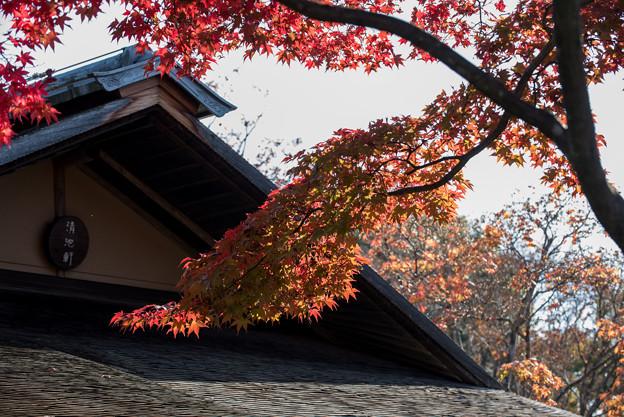 昭和記念公園【日本庭園:清池軒周辺の紅葉】6