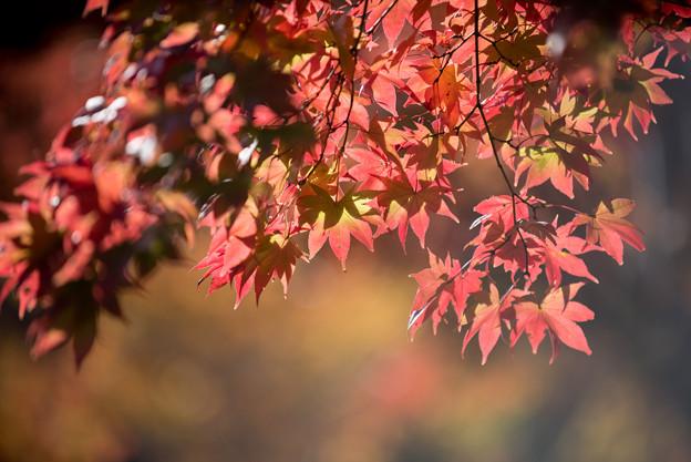 昭和記念公園【日本庭園:紅葉のピックアップ】1
