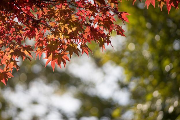 昭和記念公園【日本庭園:紅葉のピックアップ】2