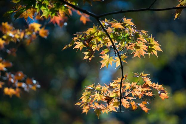 昭和記念公園【日本庭園:紅葉のピックアップ】4