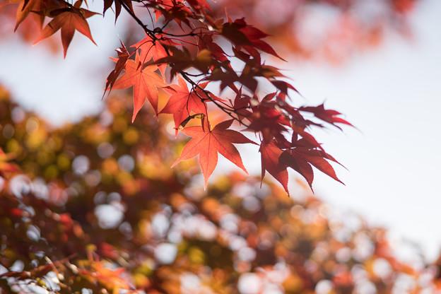 昭和記念公園【日本庭園:紅葉のピックアップ】8