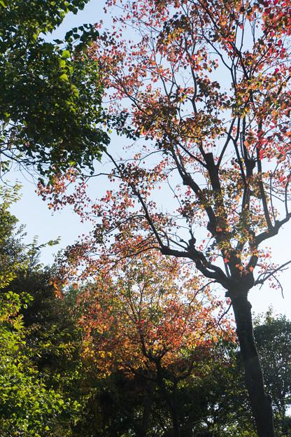 近所の緑道【ナンキンハゼの紅葉】1