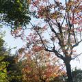 Photos: 近所の緑道【ナンキンハゼの紅葉】1