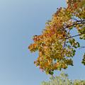 近所の緑道【ナンキンハゼの紅葉】3