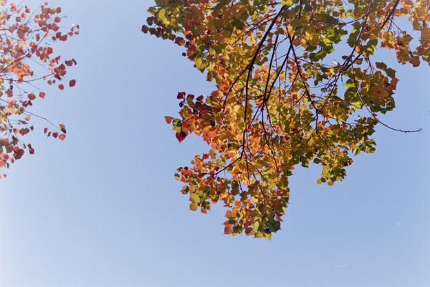 近所の緑道【ナンキンハゼの紅葉】5