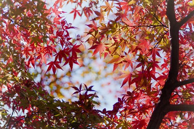 近所の緑道【モミジの紅葉】1