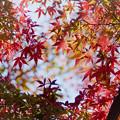 写真: 近所の緑道【モミジの紅葉】1