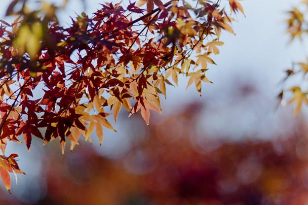 Photos: 近所の緑道【モミジの紅葉】3
