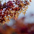 写真: 近所の緑道【モミジの紅葉】3