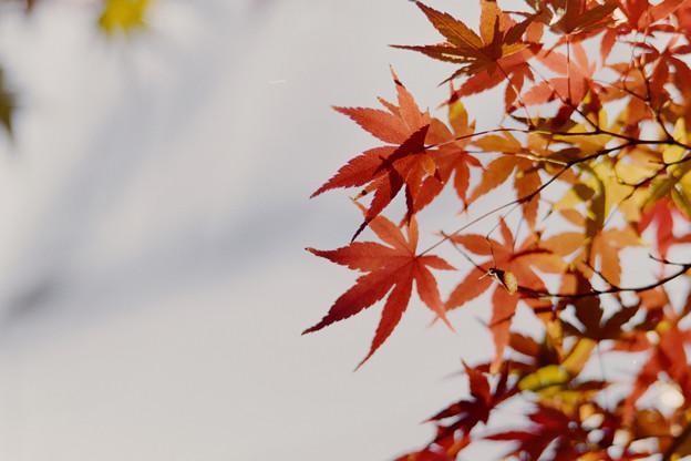 近所の緑道【モミジの紅葉】7