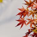写真: 近所の緑道【モミジの紅葉】7
