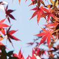 近所の緑道【モミジの紅葉】8