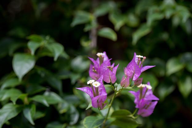 大船フラワーセンター【温室植物:ブーゲンビリア・サンデリアーナ】1