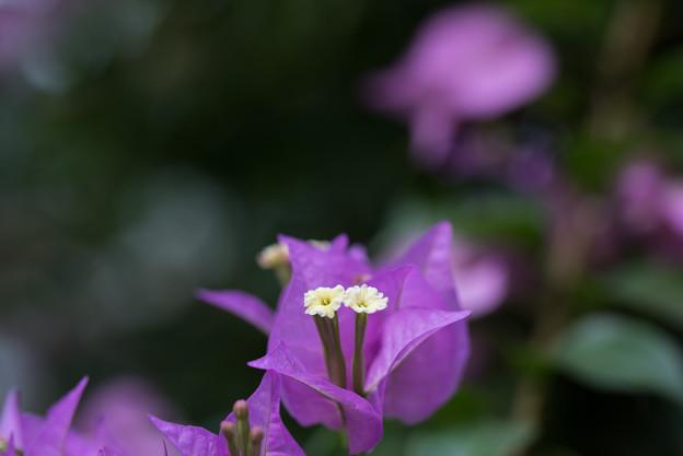 大船フラワーセンター【温室植物:ブーゲンビリア・サンデリアーナ】2
