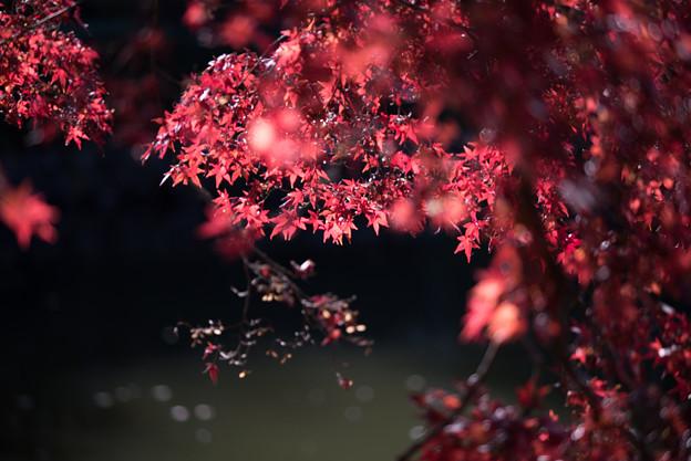 薬師池公園【たいこ橋東側の紅葉】3