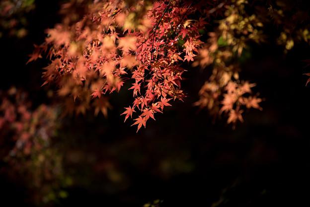 【旧古河庭園の紅葉】6