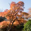 新宿御苑【タムケヤマの紅葉】1