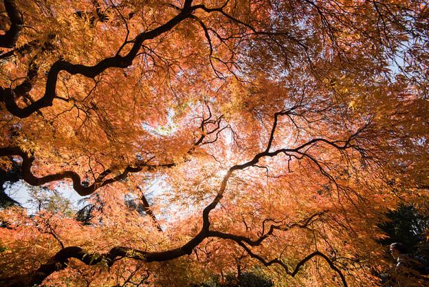 新宿御苑【タムケヤマの紅葉】5