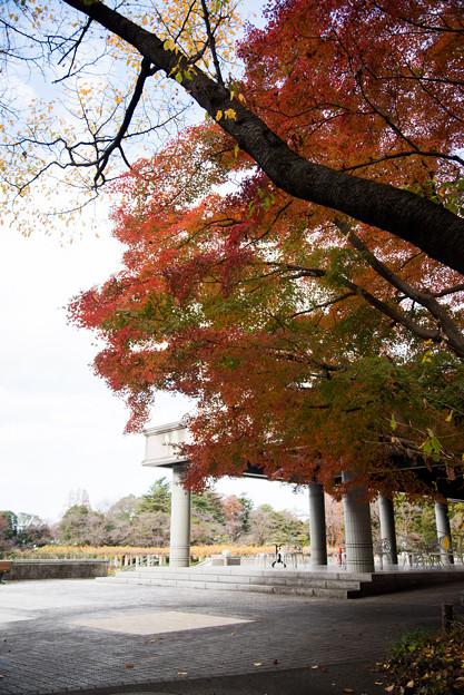 神代植物公園【バラ園テラス裏側のモミジ】1