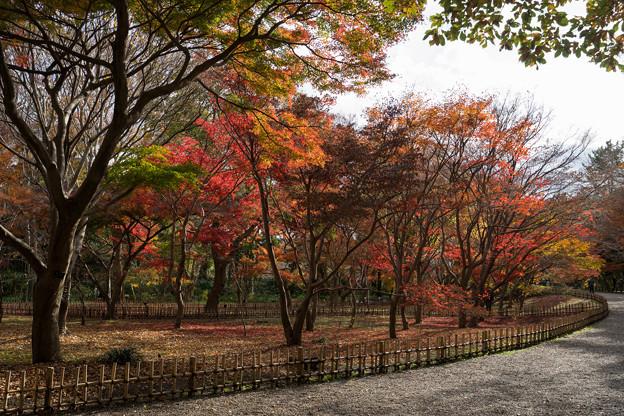 神代植物公園【かえで園の紅葉】1-1