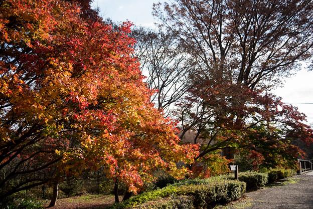 神代植物公園【かえで園の紅葉】1-2