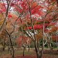 神代植物公園【かえで園の紅葉】2-2