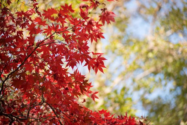 神代植物公園【かえで園の紅葉】2-4