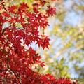 Photos: 神代植物公園【かえで園の紅葉】2-4