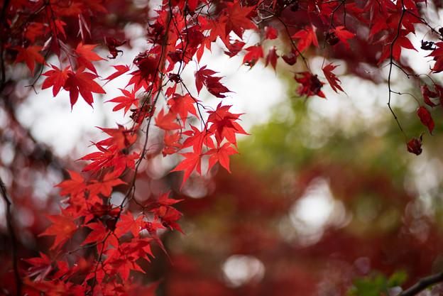 神代植物公園【かえで園の紅葉】2-5